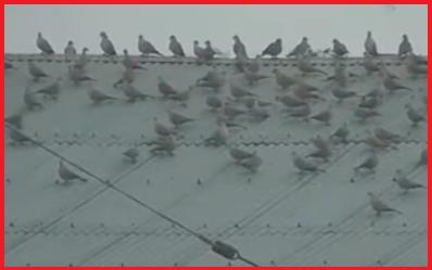 পঞ্চগড় তেতুলিয়া উপজেলার অটো রাইস মিলে ঘুঘু পাখির সমাগম নজর কেড়েছে সবার