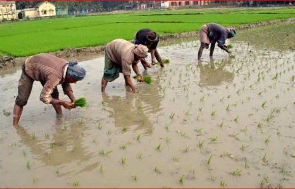ঠাকুরগাঁওয়ে বোরো আবাদে ব্যস্ত কৃষকরা