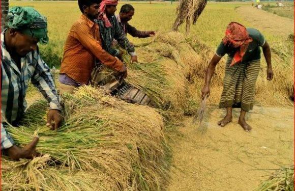 সোনালি ধান ঘরে তুলছে রংপুর অঞ্চলের কৃষকরা