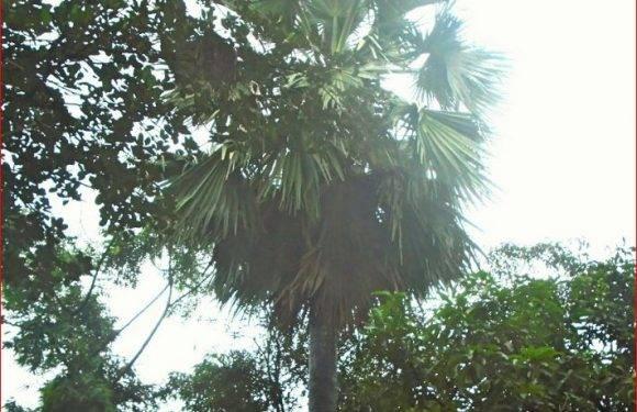 বিলুপ্তির পথে গ্রামবাংলার ঐতিহ্যবাহী তালগাছ
